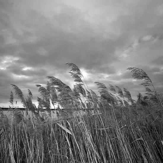 reeds at lake zwischenahn
