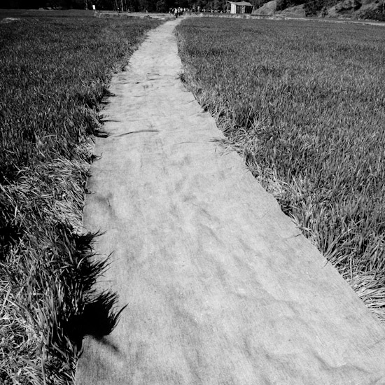 carpet through the rice field